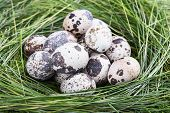 Dappled Quail Eggs In  Green-yellow Grass Nest