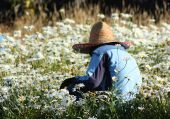 Worker In Field Of Daisies