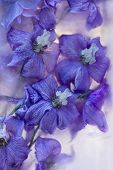 Flowers Of   Delphinium Frozen In Ice, Art Winter Background.