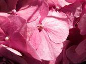 Pimk Hydrangea Background