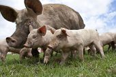 stock photo of piglet  - A free range pig and her piglets - JPG