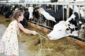 Cute little girl in dress gives hay for cow in long stall. Focus on girl.
