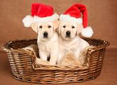 Two yellow lab Christmas puppies wearing Santa hats.
