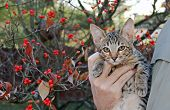 Domestic Serval Savannah Kitten