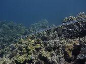 Cornetfish
