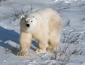 stock photo of bear cub  - Cute polar bear cub standing ion snow covered ground outside of Churchill Manitoba - JPG