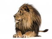stock photo of leo  - Lion lying - JPG