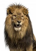 Close-up of a Lion roaring, Panthera Leo, 10 years old, isolated on white