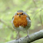 A European Robin (Erithacus rubrcula).