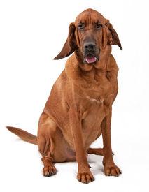 pic of bloodhound  - Alert Bloodhound dog sitting on white background - JPG