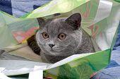 Gray Cat Close-up. Horizontal Photo.