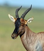 image of antelope  - Topi antelope in Masai Mara National Park - JPG