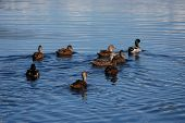 image of duck pond  - A group of Mallard ducks swim across a still pond - JPG