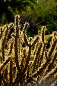 Cholla Cactus, Backlit Spiny Needles
