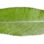 One green leaf of silver weeping willow close up macro shot isolated on white background