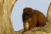 Red-bellied Lemur (eulemur Rubriventer) In A Tree