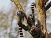 Ring-tailed Lemurs (lemur Catta) In A Tree
