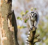 Ring-tailed Lemur (lemur Catta) In A Tree