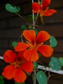 picture of nasturtium  - Orange nasturtium flowers on a beautiful dark background