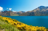 Beautiful lake Wakatipu with mighty mountains and blooming yellow gorse (Ulex europaeus). Otago regi