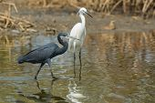 A Dark Western Reef Heron (egretta Gularis) Walking Past White Morph Reef Heron