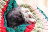 Funny sleeping ferret