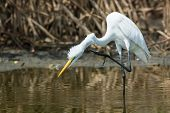 Great White Egret (egretta Alba) Scratching Its Neck With Its Foot