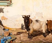 stock photo of headstrong  - View of Tibetan goats in the little farm