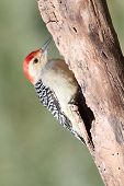 Woodpecker On A Log