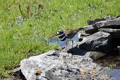 stock photo of killdeer  - Killdeer (Charadrius vociferous) on the rocks of a man-made water hole.