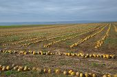 Rows of pumpkins on a field