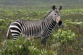stock photo of fynbos  - Cape Mountain Zebra - JPG