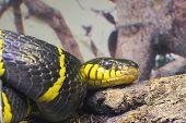 Gold-ringed Cat Snake Or Mangrove Snake (boiga Dendrophila)