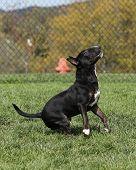 Dark brindle bull terrier jumping