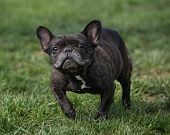 French Bulldog and a funny face