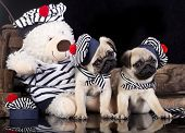 pug puppy in a suit of the seaman