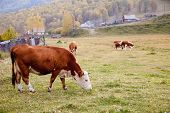 Cows Graze In The Autumn In Altai