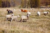 Flock Of Sheep Grazing In The Autumn In Altai