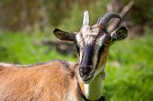 funny goat in garden at sunny day