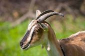 funny goat on pasture - soft photo