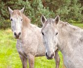 Two Young Horses On The Pasture.