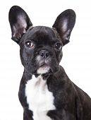 Portrait Of A French Bulldog Puppy