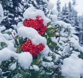Red frozen rowan berries