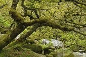 picture of epiphyte  - Moss covered Granite Boulders and Oak Trees with epiphytic mosses lichens and ferns Wistman - JPG