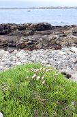 Irish Coastal Pink Wildflowers