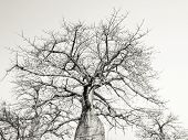 foto of baobab  - Baobab trees on savanna in Mikumi National Park in Tanzania - JPG