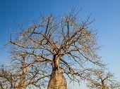 stock photo of baobab  - Baobab trees on savanna in Mikumi National Park in Tanzania - JPG