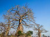 image of baobab  - Baobab trees on savanna in Mikumi National Park in Tanzania - JPG
