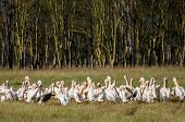 pic of flogging  - Pelicans at lake Nakuru by the water - JPG