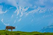 Grazing cow on a pasture with the background of swiss mountain cover with snow Interlaken - Lauterbrunnen